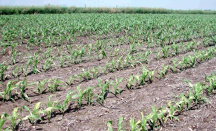 Cornfield treated with Callisto