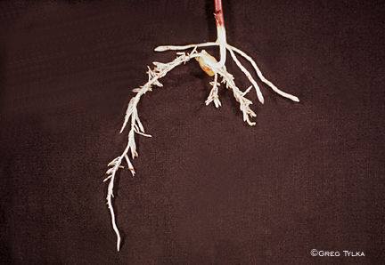 Herbicide damage to corn roots
