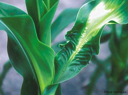 Corn injury from ALS-herbicide and insecticide interaction