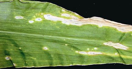 Holcus leaf spot symptoms on corn