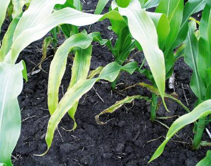 Potassium-deficient plots in Ames, Iowa in 1999