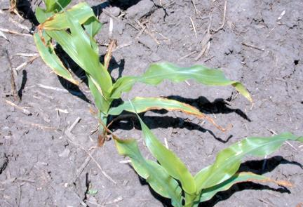 Tillage-induced potassium deficiency
