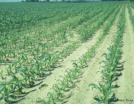 Nematode damage in corn