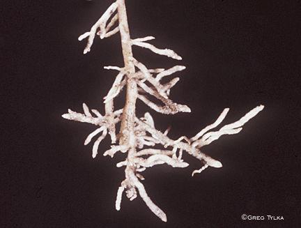 Nematode damage to corn roots