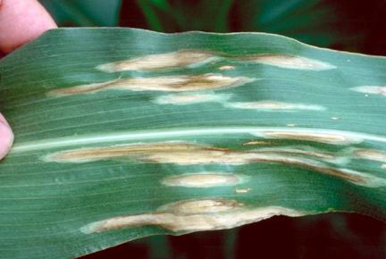 Northern corn leaf blight
