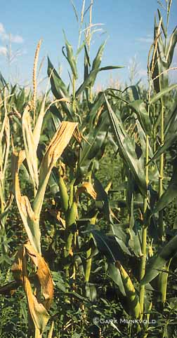 Corn Killed by Stalk Rot