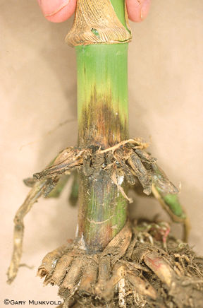Stalk rot symptoms