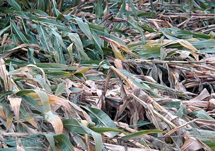 Lodged corn from poor roots and stalk rot