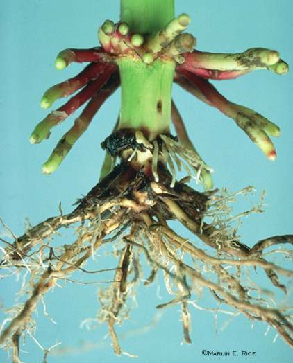 Corn rootworm larval injury