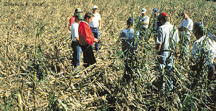 Lodged corn from northern corn rootworm