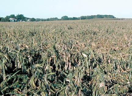 Root lodging of corn