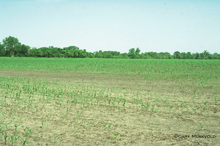 Stand loss in corn due to seedling disease