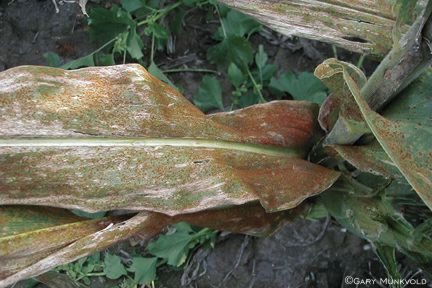 Southern Rust