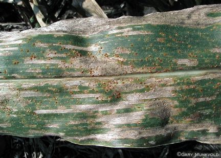 Southern Rust and Gray Leaf Spot