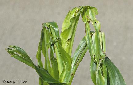 Stalk borer injury to whorl-stage corn