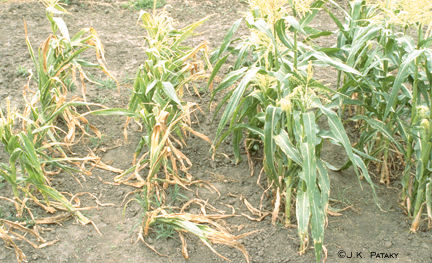 Sweet corn damage from Stewart's disease
