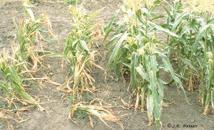 Sweet corn damage from Stewart's disease