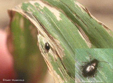 Corn flea beetle and feeding damage