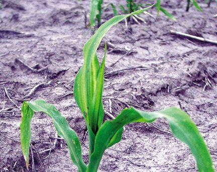 Environmentally induced striping on corn