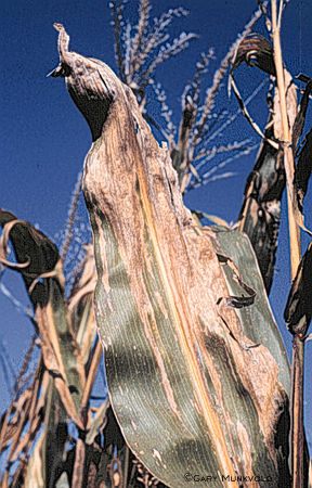 Severe late-season Stewart's disease