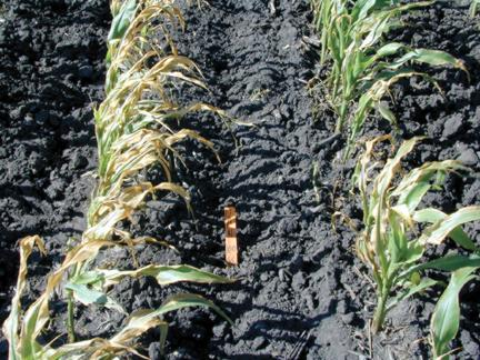 Corn tissue damage from UAN