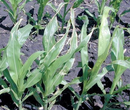 Leaf injury to corn from broadcast urea