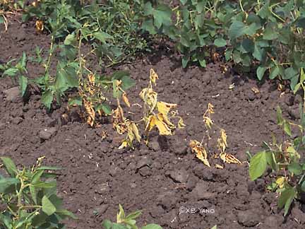 Plants with Phytophthora root rot.