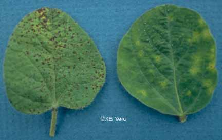 Brown spot vs. bacterial blight