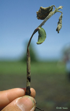 Soybeen seedling disease