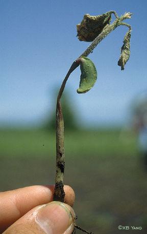 Soybeen seedling disease