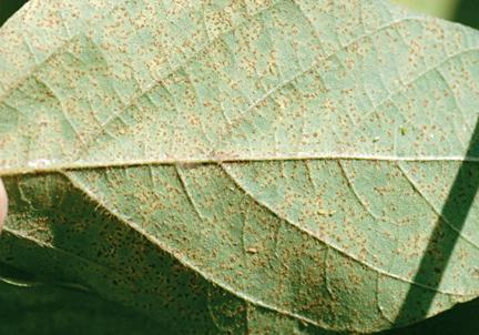 Soybean leaf with rust