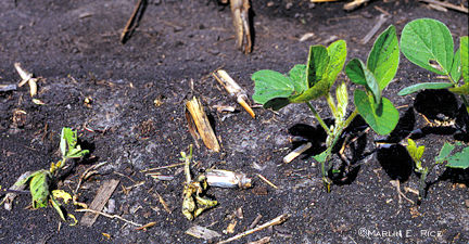 Seedling soybeans cut by black cutworms