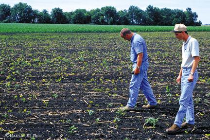 Black cutworm damage to soybean field