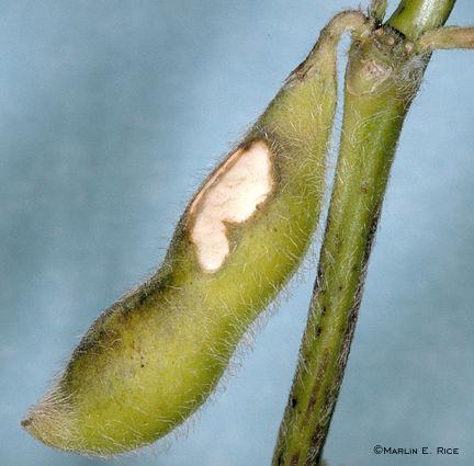 Bean leaf beetle injury