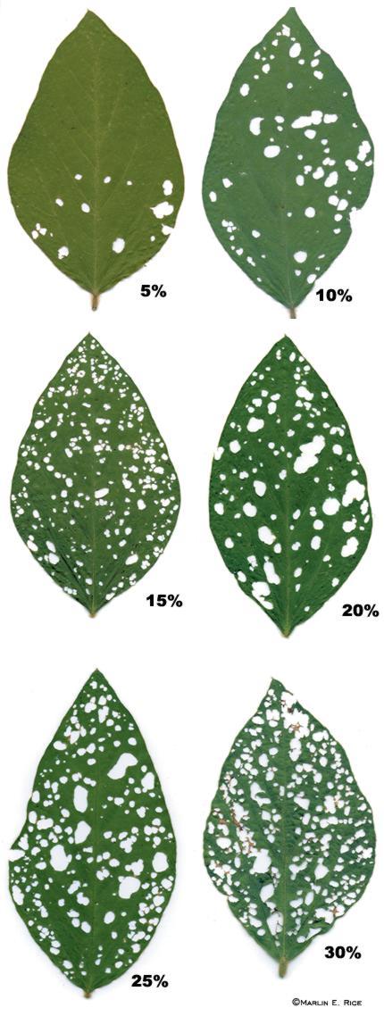 Soybean defoliation