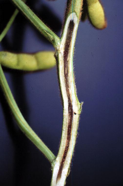 Stem with brown stem r...