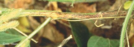 Phytophthora-like stem canker