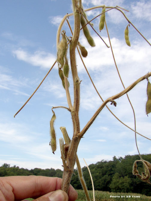 Soybean plants infected by charcoal rot