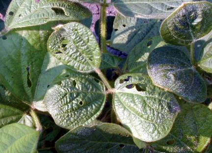 Leaf malformations in soybean