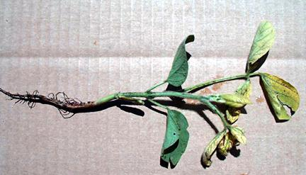 Iron chlorosis with root rot