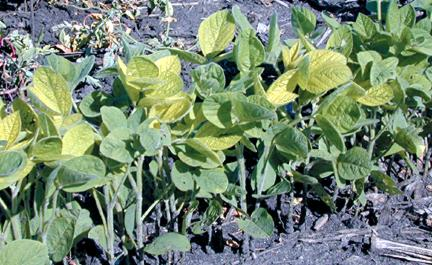 Iron deficiency in soybean