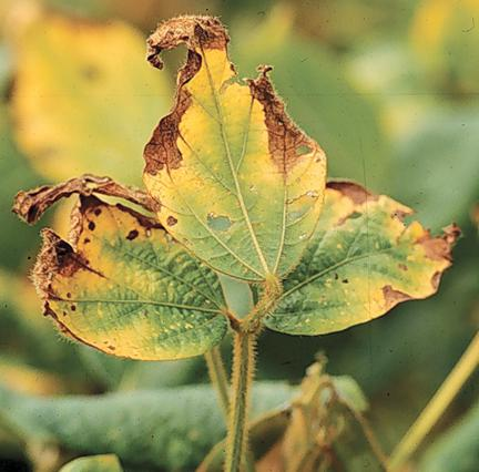 Tip blight caused by Phomopsis