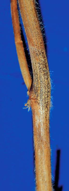 Soybean stem infected by Phomopsis