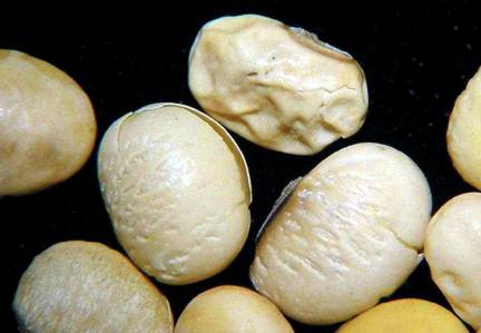 Soybean seeds infected by Phomopsis