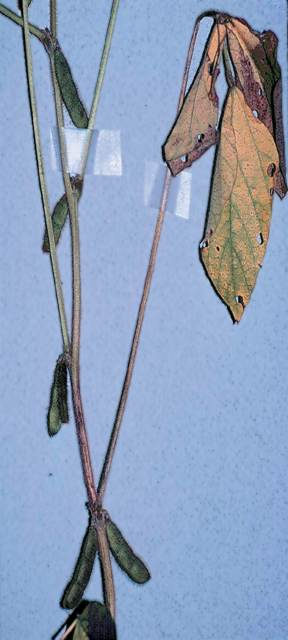 Pod and stem blight of soybean