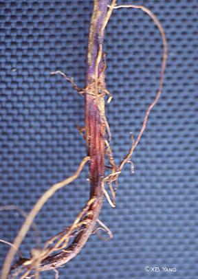 Reddish-brown lesions