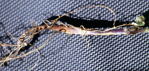 Fungal root rot