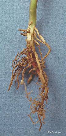Root rot of a seedling injured by herbicide