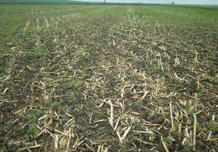 Damping-off of soybean