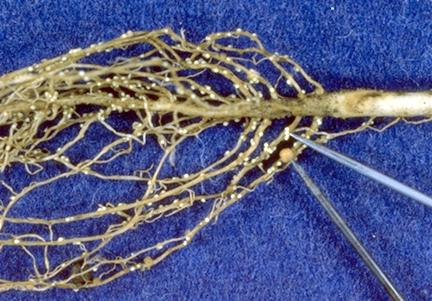 Soybean cyst females and nitrogen-fixing nodules